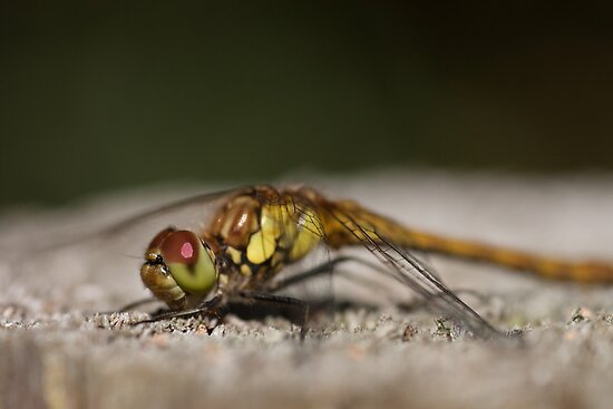 Common Darter Female by Jon Lees