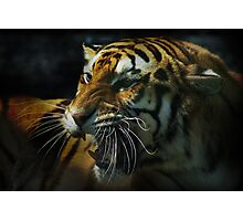 Snarling Tiger  Photographic Print