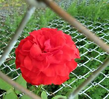 caged rose by Leeanne Middleton