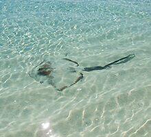 Bull Ray - Heron Island - Australia by Anthony Wilson