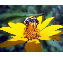 the pollen-nator  Photographic Print