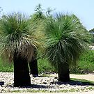 Xanthorrhoea  by Maggie Hegarty