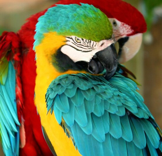 Macaws at the Jungle Gardens XX by Sheryl Unwin