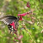 Butterfly ~ Pipevine Swallowtail by Kimberly P-Chadwick
