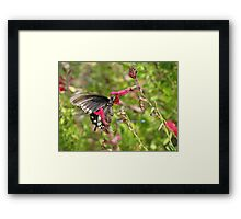 Butterfly ~ Pipevine Swallowtail Framed Print