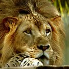 Young Lion by Jim Sugrue