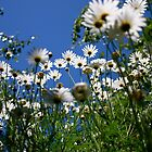 Pushing up daisy's by Luke Crozier