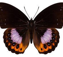 Butterfly species hypolimnas pandarus by paulrommer