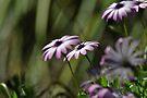 daisy iv by gary roberts