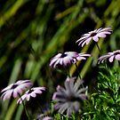 daisy v by gary roberts