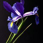 Iris by Jenni Tanner