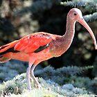 Scarlet Ibis (Eudocimus ruber) by DutchLumix