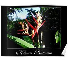 Heliconia psittacorum Poster