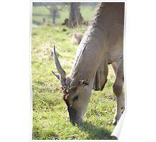 Eating Antelope Poster