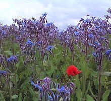 Poppy in a field of blue by wombat37