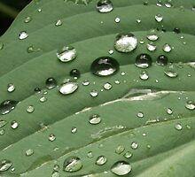 After the shower - water droplets on a leaf by wombat37