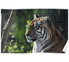 Rana - Bengal Tiger - Shepreth Wildlife Park 2010 Poster