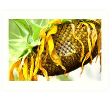 Withered Sunflower Art Print