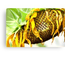 Withered Sunflower Canvas Print