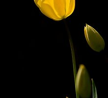 A Backlit Tulip. by Robert Taylor