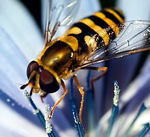 Hover Fly by Stephen Maxwell