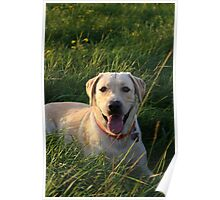 Yellow Lab Poster