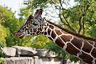 Giraffe by Sandy Keeton