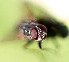 Eye of the Fly! by LisaRoberts