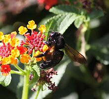 Carpenter Bee on a Lantana bush....... by DonnaMoore
