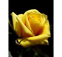 yellow rose. Photographic Print