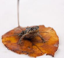 Leaf Frog by Fiona Boundy