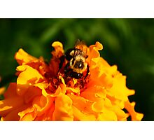 BEES KNEES Photographic Print