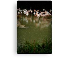 Gathering Rain - Flamingos at Basel Zoo Canvas Print