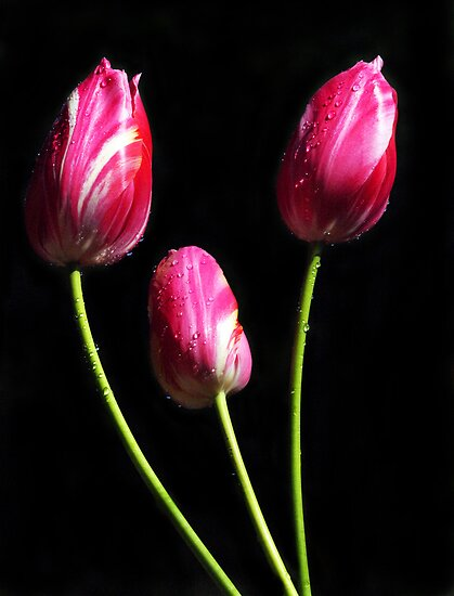 Three Candy Striped Tulips by Bev Pascoe