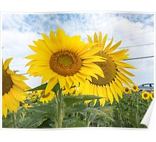 Field of yellow sunflowers Poster