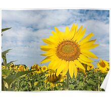 Golden sunflower flowers Poster