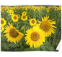 Field of sunflowers in summer Poster
