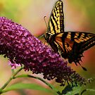 Swallowtail on Butterfly Bush by KatsEyePhoto