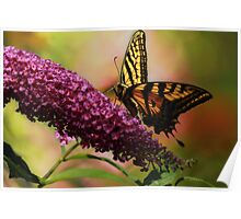Swallowtail on Butterfly Bush Poster