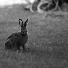 """Hunting"" Rabbits by Stephen Rowsell"