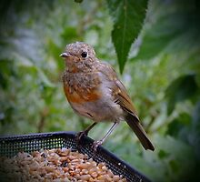 Young Robin by AnnDixon