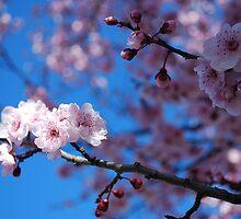 Cherry Bloosom by sharon2121