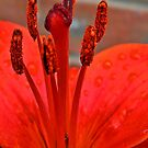 Lily Stamen by Trevor Kersley