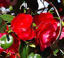 Red Camellia by Gregory John O'Flaherty