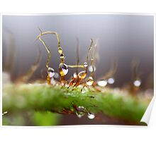 Dewdrops on Fern Poster