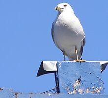 Seagull Blue by royxnavy
