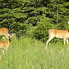 Deer Triplets  by Judy Grant