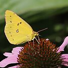 yellow butterfly by Alice Kahn