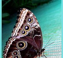butterfly wine color:) by LisaBeth
