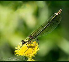 Banded Demoiselle (Calopteryx splendons) Female (III) by DonMc